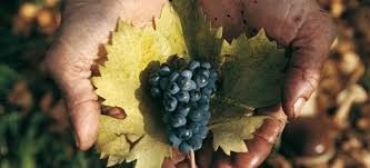 The gift of ancient grapes