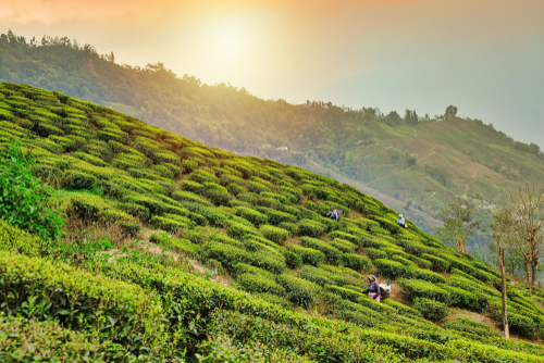 Darjeeling tea and why wine lovers drink it