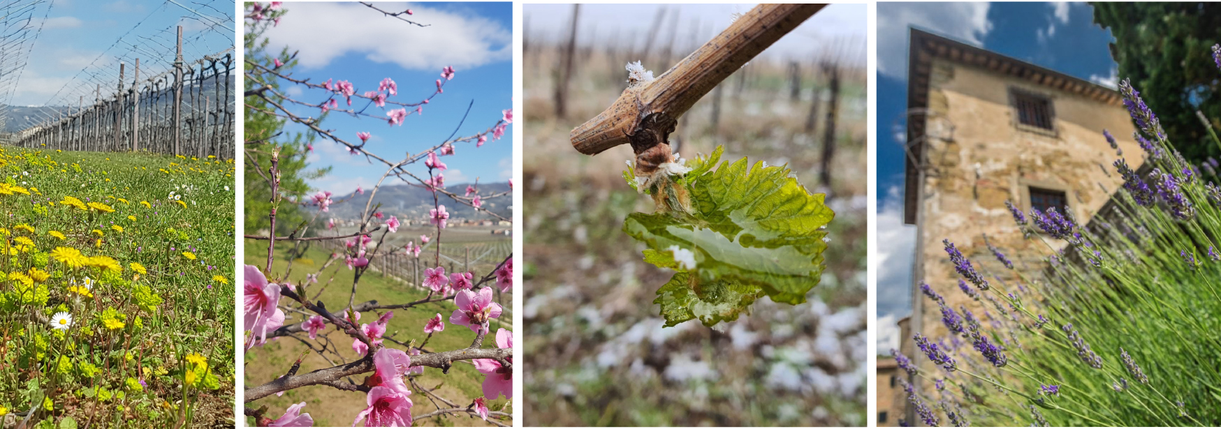 Notes from Italy's vineyards: signs of hope and renewal